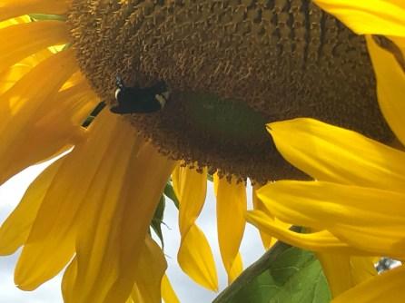 Styring Sunflower