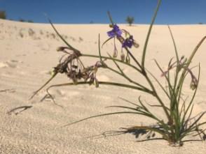 Flowers grow in the dunes
