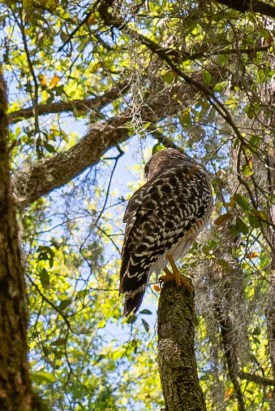 Majestic Hawk hangs out near our site