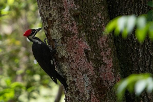 Pileated Woodpecker feeding