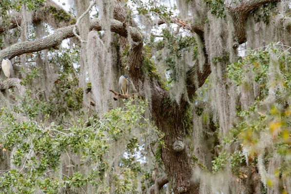 Night Heron with lots of Spanish Moss
