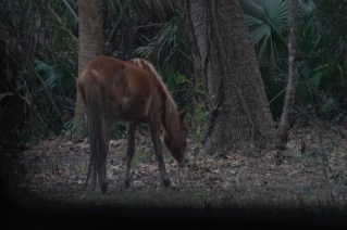 Wild horse sighting on the road Cumberland Island