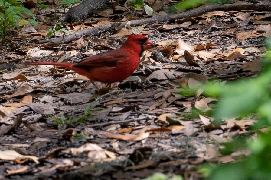 Cardinal got a snack