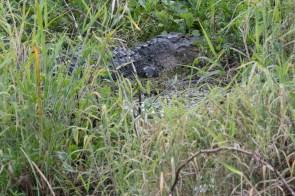 Big Daddy alligator
