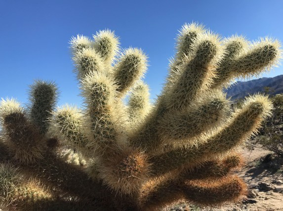 Cholla against the sky