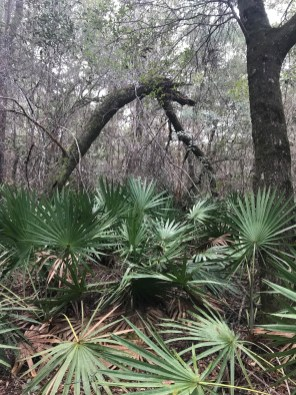 Palmettos grow thick in the forest