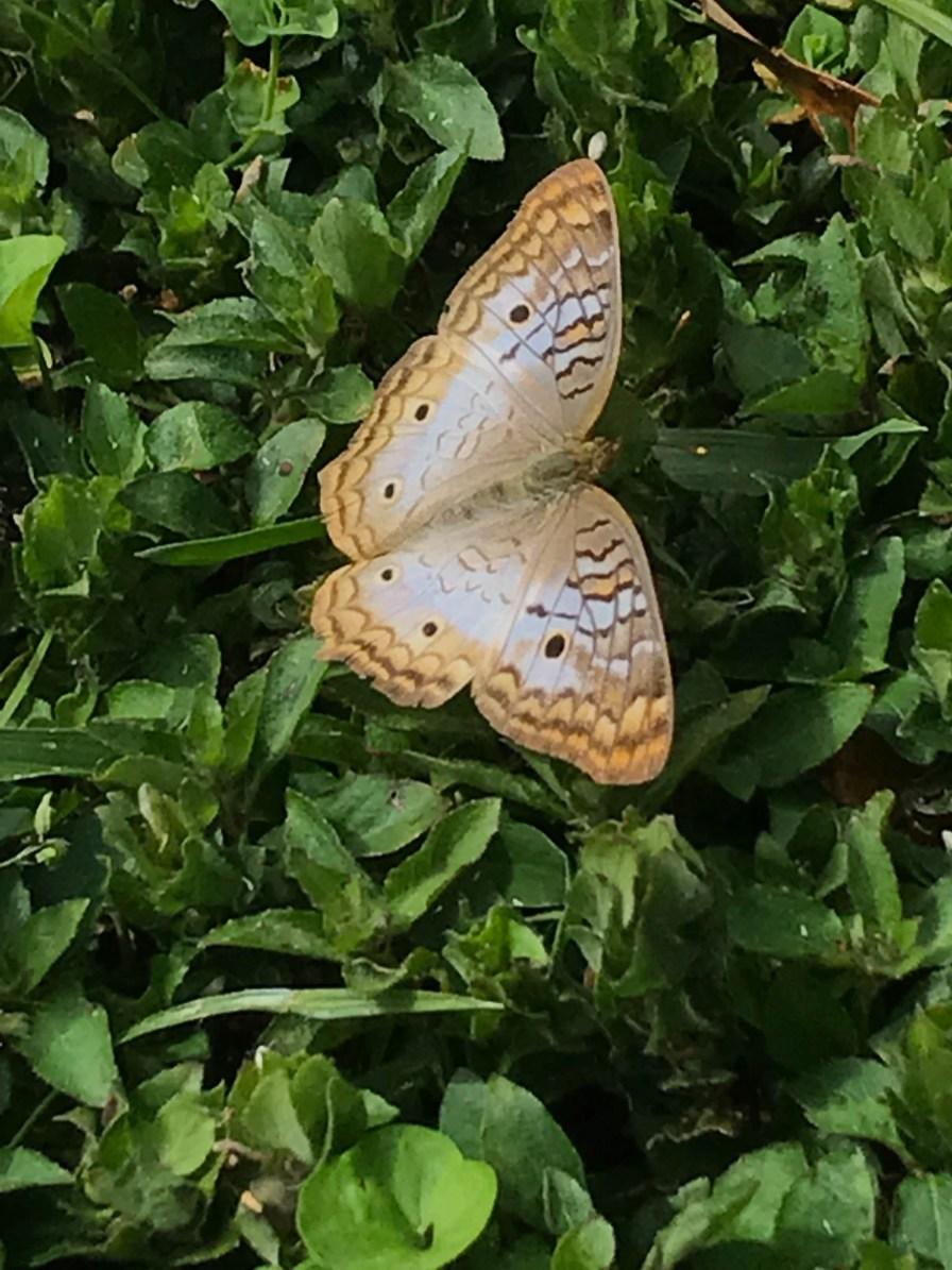 Pretty butterfly near the lake at Medard Park