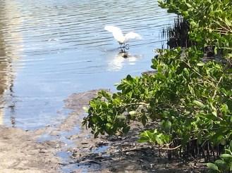 Egret hunting at Coral Creek