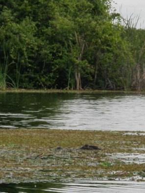Gator hiding in the weeds Medard Park