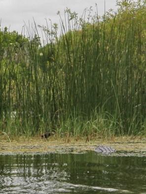 Large gator watching the bird