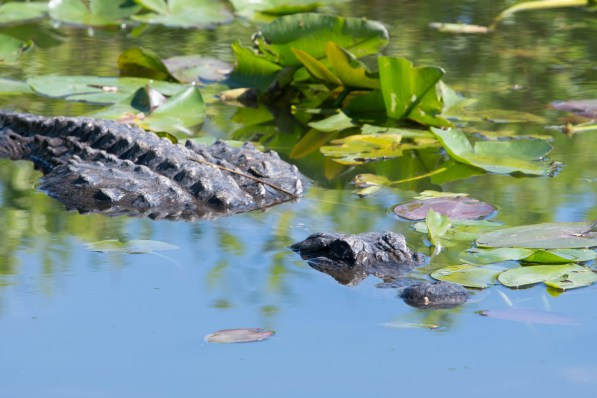 Aligator at Anhinga Trail Everglades NP