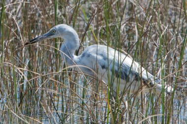 Young Little Blue Heron caught a fish