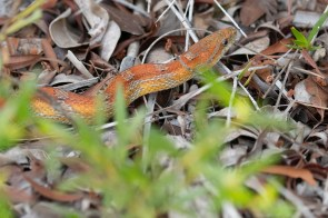 Red Rat Snake on Big Pine Key in the Key Deer Wildlife Refuge