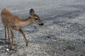 Key Deer along the road in the refuge