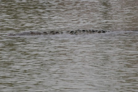 Crocodile swims in the Flamingo Marina at Florida Bay Everglades NP