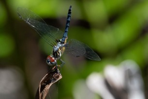 Colorful Dragonfly salutes