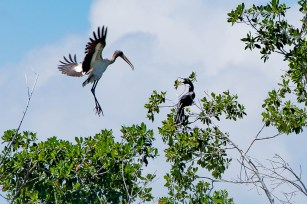 Woodstork wants to take the Anhinga's spot