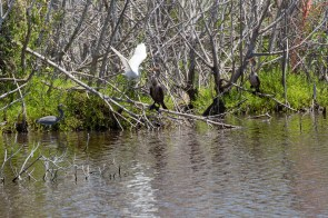 Cormorant, Egret and Heron like this pond