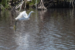 Snowy Egret drags his feet