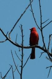 Fluffy Northen Cardinal