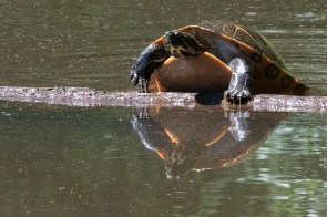 Turtle climbs onto a log, Hattiesburg, MS