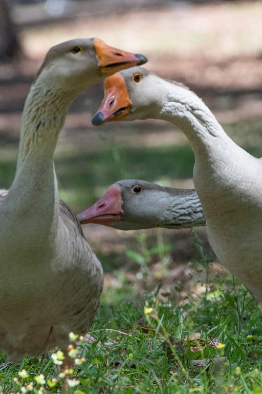 Geese give me animated looks at Hattiesburg, MS