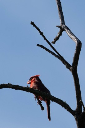 Northern Cardinal basks in the early morning sun