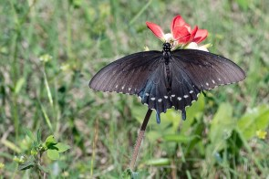 Gorgeous wings on Swallow-tail Butterfly