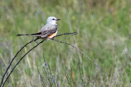 Scissor Tail Flycatcher coloring is so beautiful