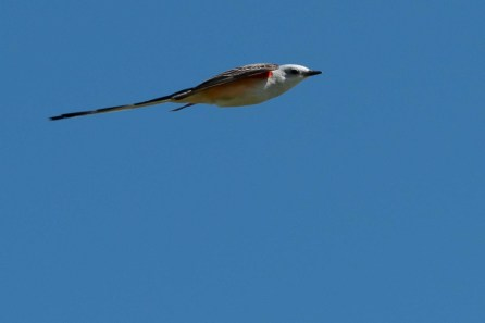 Scissor Tail Flycatcher just flying by