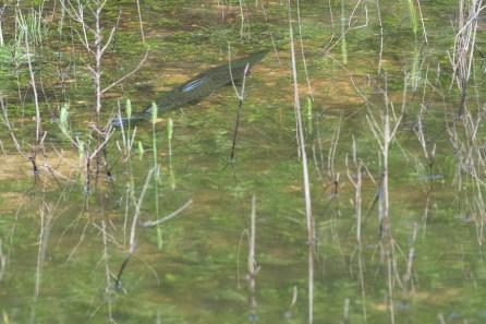 Gar hunts n the flooded grasses