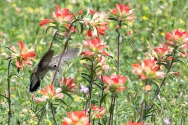Hummingbird loves the Indian Paintbrush