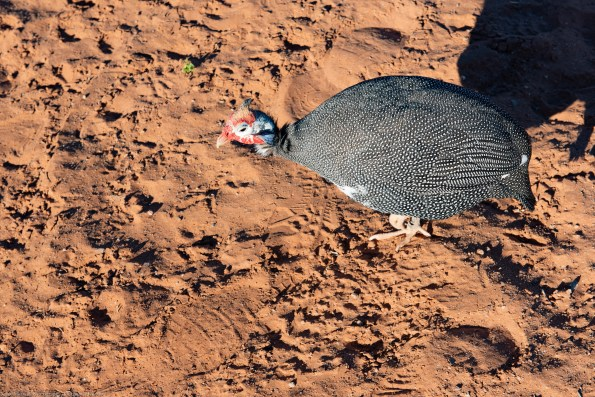Guineafowl were abundant around Sossusvlei Lodge