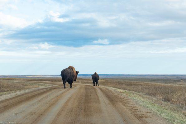 Badlands Bison are the largest fluffiest bison we've ever seen