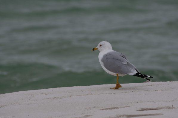 Ring-billed Gull portrait, Gulf Islands National Seashore