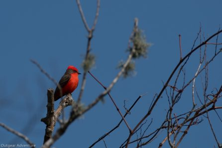 Vermillion Flycatcher sits proudly watching his cooridor. Brazos Bend State Park, Texas