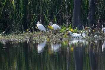 White Ibis resting and bathing at Brazos Bend State Park, Texas