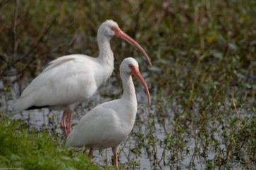 White Ibis are resting between nearly constant feeding. Brazos Bend State Park, Texas