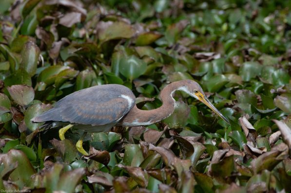 Tricolored Heron hunts in the deep lily pads. Brazos Bend State Park, Texas