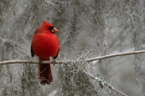 Northern Cardinal watches after his mate at Brazos Bend State Park, Texas