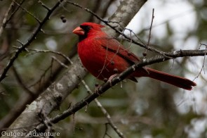 Northern Cardinal at Brazos Bend State Park, Texas