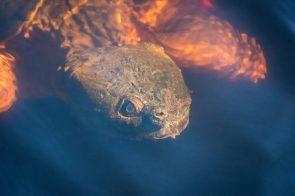 Huge pond turtle at Fort Pickens