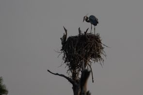 Heron checks out a nest, Fort Pickens, FL