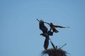 Bald Eagles choosing a nest at Fort Pickens, FL