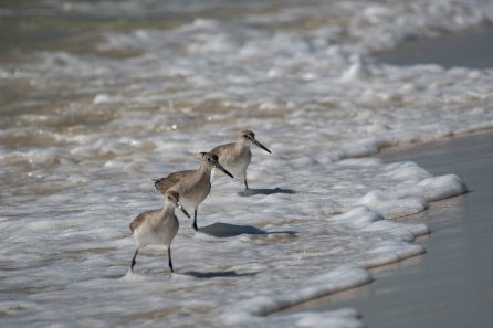 Willets dancing in the surf at Fort Pickens