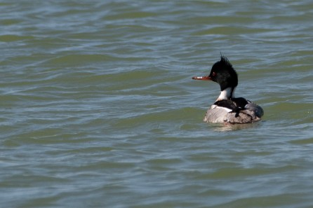 Red-breasted Merganser at Fort Pickens