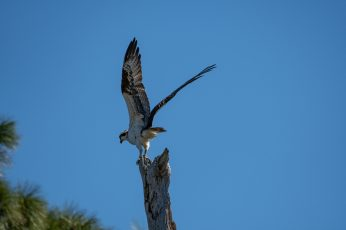 Osprey takes off