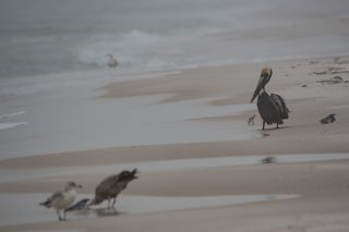 Brown Pelican eyes the fish head that the Herring Gulls have despite being next to his own fish head. Sanderling next to him shows size difference.