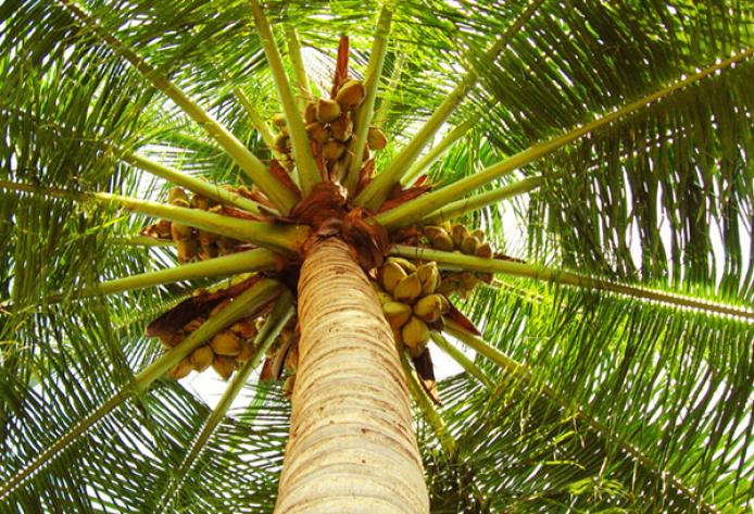 ¿Qué tipo de aceite de coco es el mejor? Aceite de Coco Virgen Ecológico