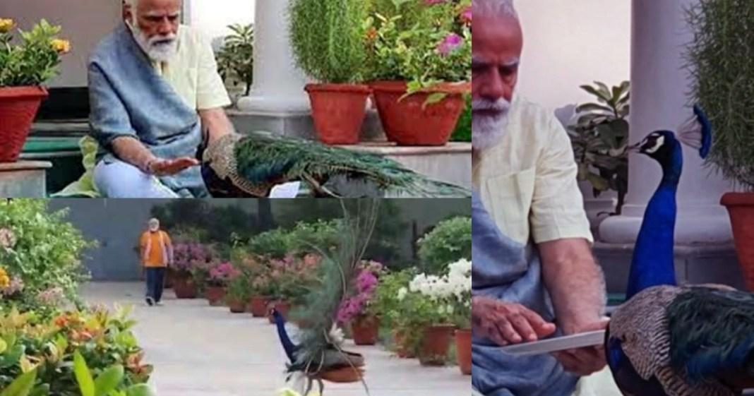 Prime Minister Narendra Modi posts video of him feeding peacocks